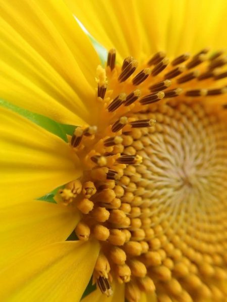 ヒマワリの頭状花