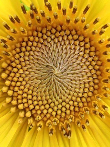 ヒマワリの幾何学模様