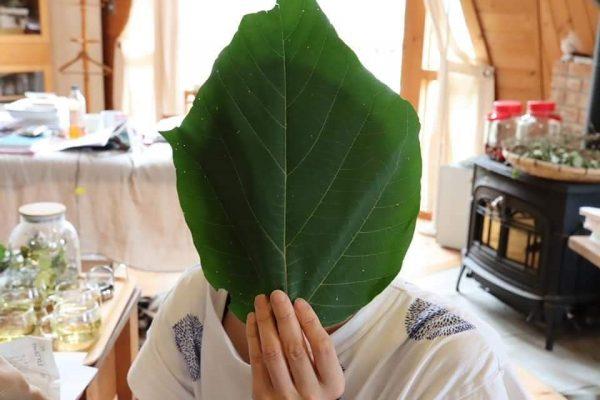 アカメガシワの葉